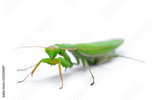 Fotografie, Obraz  Ordinary, european mantis religiosa, isolated on white background