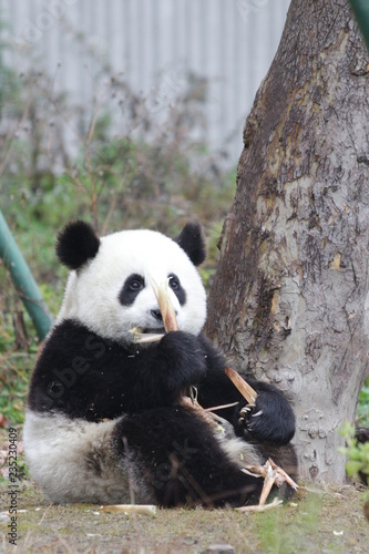 Stickers pour portes Panda Little Panda Cub is Learning to Eat Bamboo Shoot