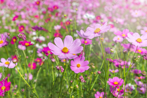 Stickers pour porte Pierre, Sable close up colorful pink cosmos flowers blooming in the field on sunny day