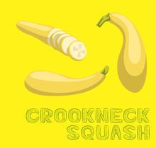Vegetable Kind Crookneck Squash Vector Illustration