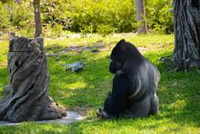 MIAMI, FL, USA - APRIL 29, 2018: Gorilla In Thoughtful Look In Miami Zoo, Florida