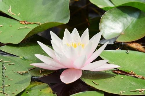 Photo Stands Water lilies Красивый цветок водяной лилии в пруду