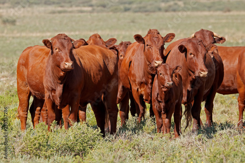 Small Herd Of Free Range Cattle On A Rural Farm South