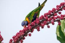 Colourful Australian Rainbow L...