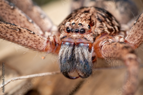 Photo Large Australian huntsman spider