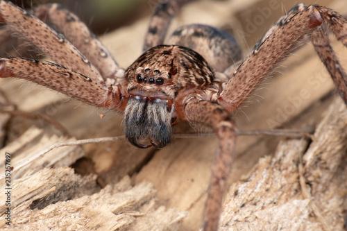 Fotomural Large Australian huntsman spider