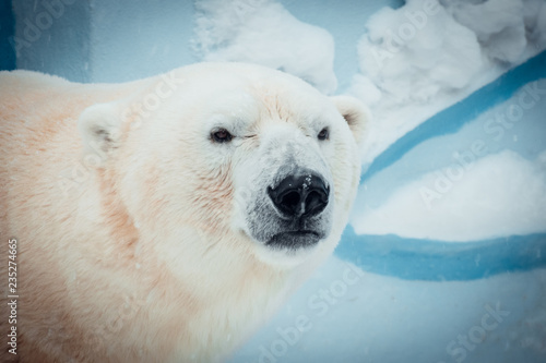 Portrait of a polar bear.