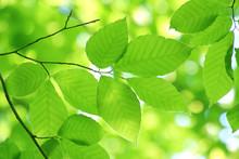 ブナ・山毛欅の木の葉