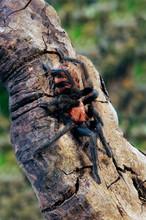 Rote Tigervogelspinne (Davus Fasciatus) - Costa Rican Tiger Rump