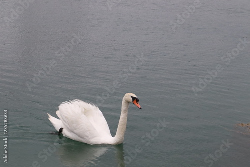 Poster Cygne Wild Swans (photo Czech Republic, Europe)