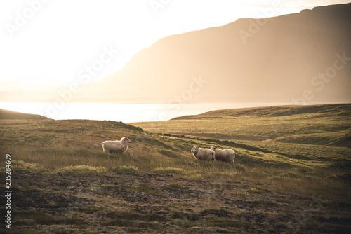 Owce #235284609