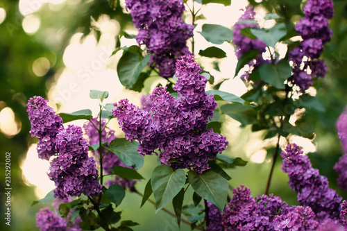 Purple spring lilac flower