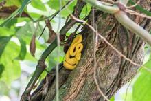 Costa Rica Gelbe Bothriechis S...