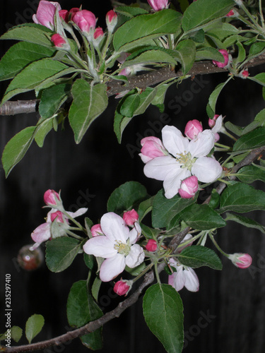 Poster Fleuriste Branch of blossoming apple on the background of the door. Spring collorites.