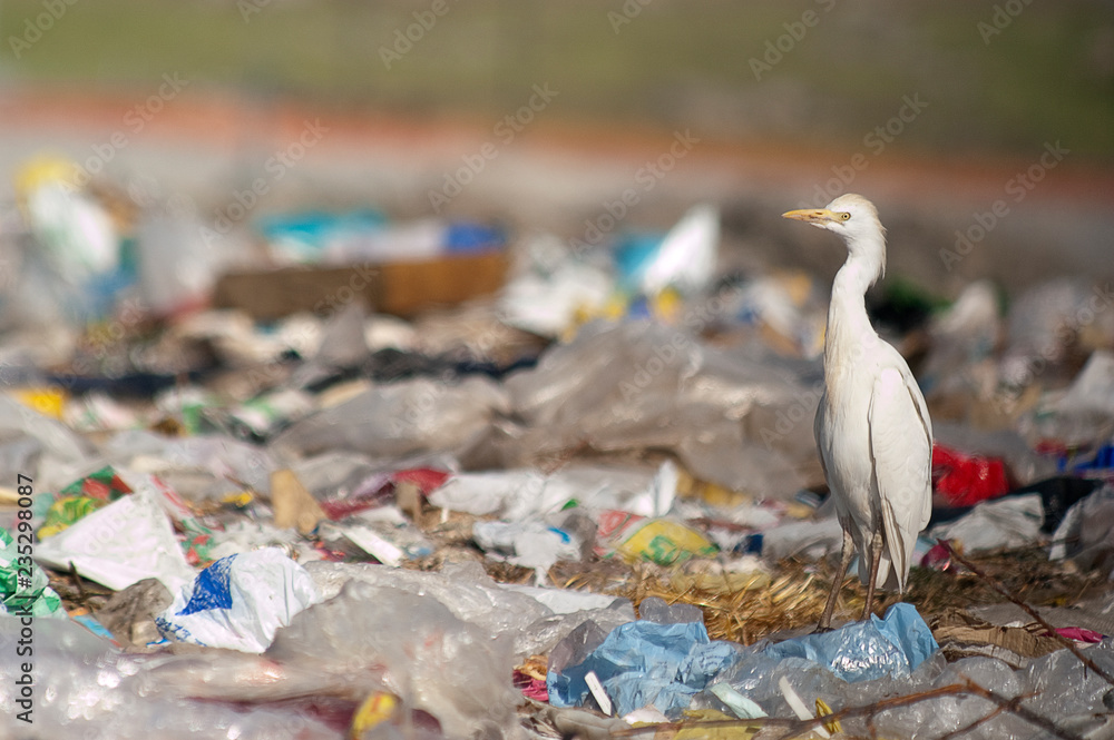 Fototapety, obrazy: Cattle Egret (Bubulcus ibis) looking for food in the trash