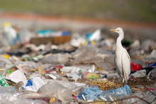 Cattle Egret (Bubulcus Ibis) Looking For Food In The Trash