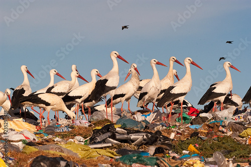 Fotografie, Obraz  Group of white stork in the garbage, Ciconia ciconia