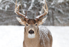 White-tailed Deer Buck With A Huge Neck Standing In The Falling Snow During The Rut Season In Canada