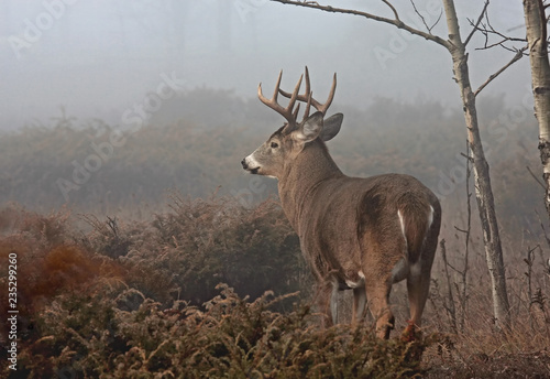 White-tailed deer buck with huge neck walking through the foggy woods during the rut in autumn in Canada