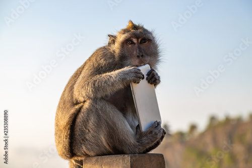 Monkey thief sitting with stolen mobile phone at sunset near Uluwatu temple, Bali island landscape. Indonesia.
