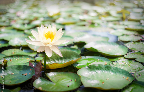 Foto op Canvas Lotusbloem Closeup lotus flower image photo