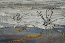 The Weathered Remains Of Dead Trees Reach Out Of The Mineralized Terraces Of Mammoth Hot Springs At Yellowstone National Park.