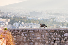 A Cute Stray Cat Walks Along A Ledge, Part Of The Ruins Of The Acropolis, With A View Of The Athens, Greece Cityscape.