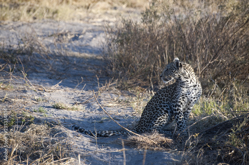 Young leopard in the savannah