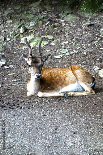 Photo  A relaxing forest animal, dama dama