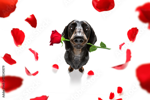 Aluminium Prints Crazy dog valentines dog in love