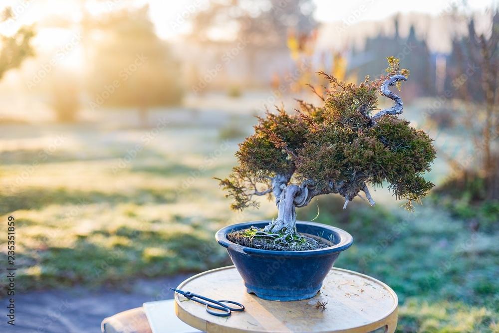 Beautiful bonsai tree in a pot outdoors