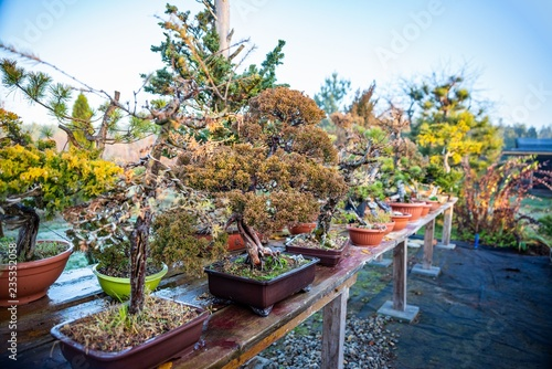 Bonsai trees on wooden table