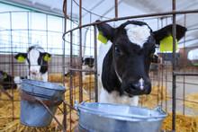 Cute Little Calf In Individual...