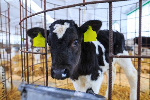 Photo Cute little calf in individual enclosure. Nursery on a farm.