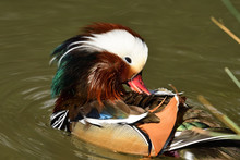 Close Up Of A Mandarin Duck (aix Galericulata) Preening Itself In The Water