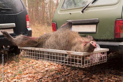 Ein erlegtes Wildschein liegt im Heckträger eines Autos