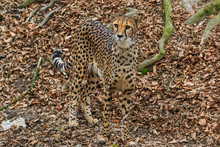 Female Cheetah Camouflage