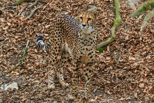 Fotografie, Obraz  Female cheetah camouflage