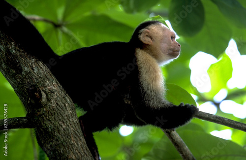 Fotografering  White-faced Capuchin Monkey in the Costa Rican Rainforest