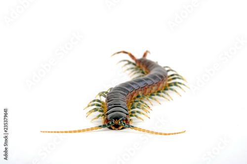 Leinwand Poster Blaubeiniger Hundertfüßer (Ethmostigmus trigonopodus) - blue leg Centipede