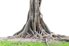 Big Tree Roots Spreading Out B...