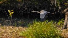 Great Blue Heron In Flight Over Shoreline
