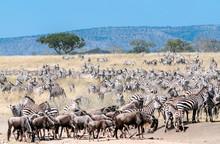 Zebras And Wildebeest Crossing The Serengeti In