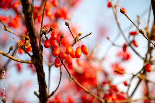Obraz na plátně cornus fruit tree