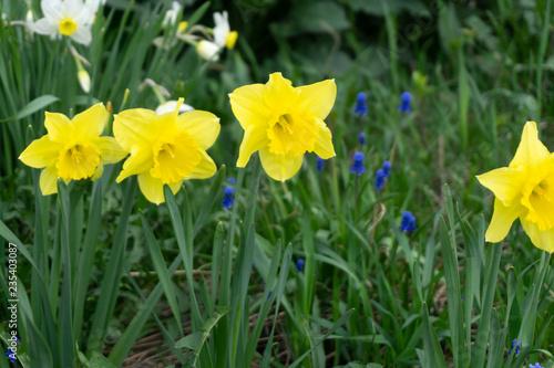 White narcissus Narcissus poeticus season spring flowers .