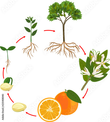 Life Cycle Of Orange Tree  Plant Growth Stage
