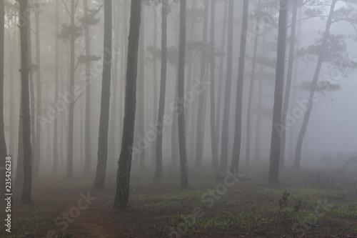 Foto auf Acrylglas Wald im Nebel Fantastic foggy forest with pine tree in the sunlight. Sun beams through tree. Beauty world