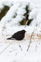 Blackbird Sitting On The Snowy Ground At A Bird Feeding