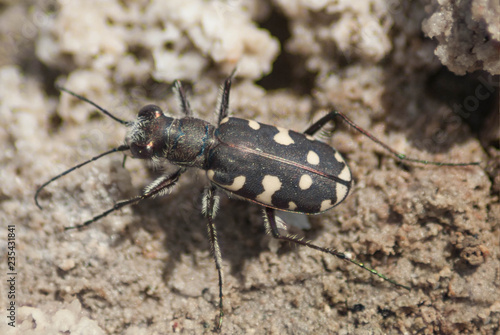 Fotografía  Escarabajo tigre