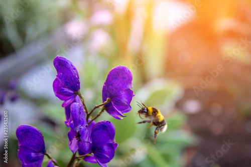 Photo Aconite crescit in hortis et circa apis volans